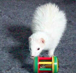 Photograph of a white Ferret